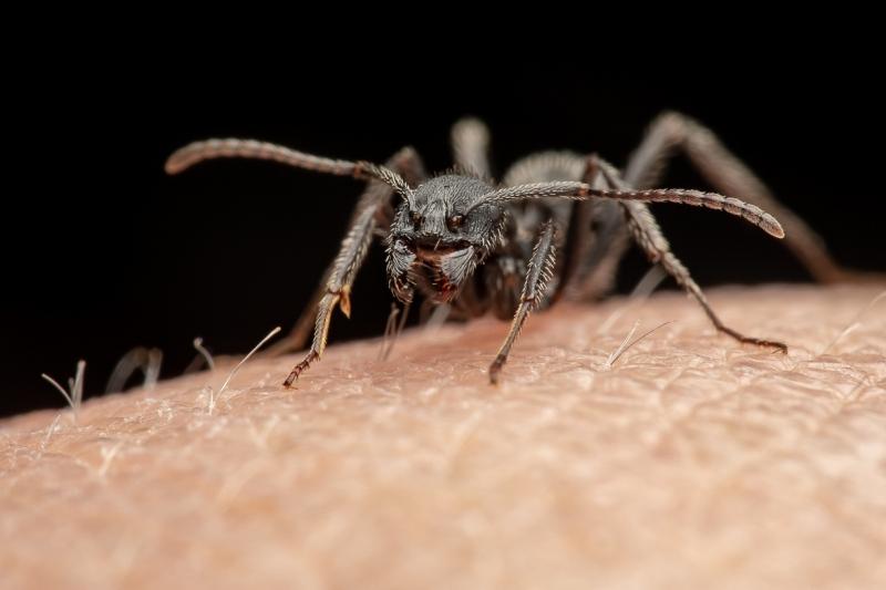 Aphaenogaster-senilis-Italy-10