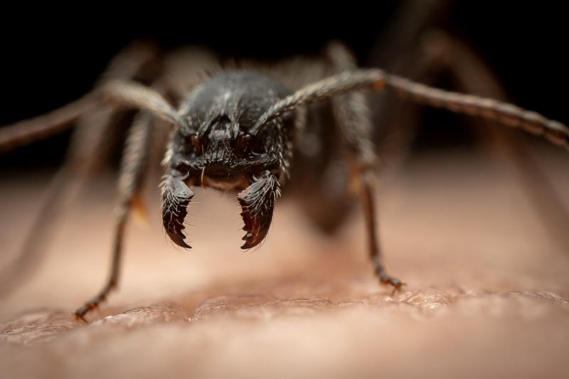Aphaenogaster-senilis-Italy-11