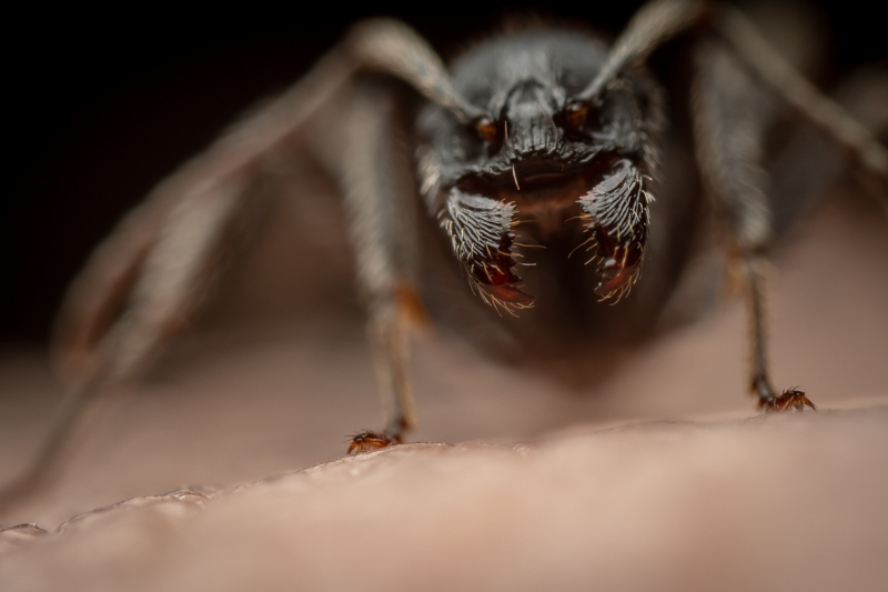 Aphaenogaster-senilis-Italy-13