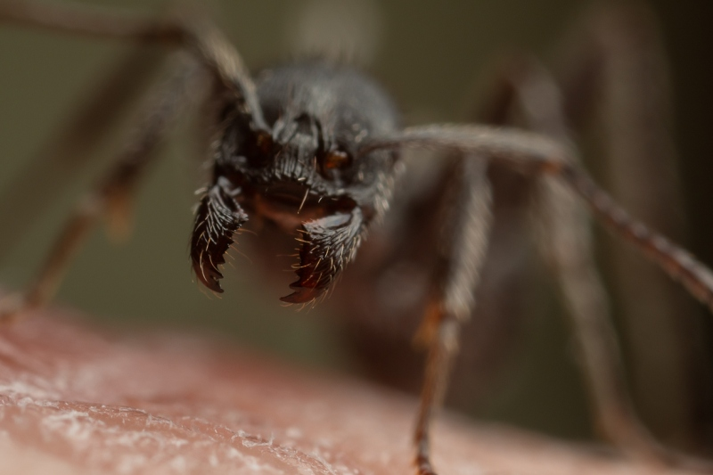 Aphaenogaster-senilis-Italy-19