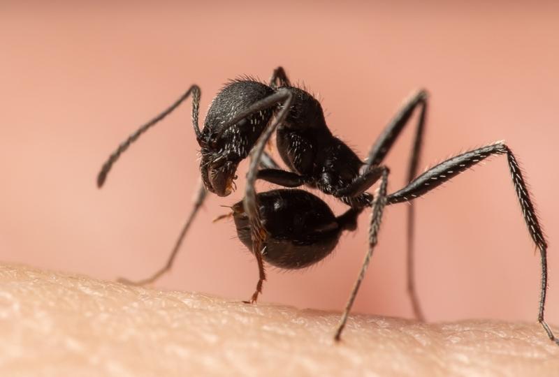 Aphaenogaster-senilis-Italy-5