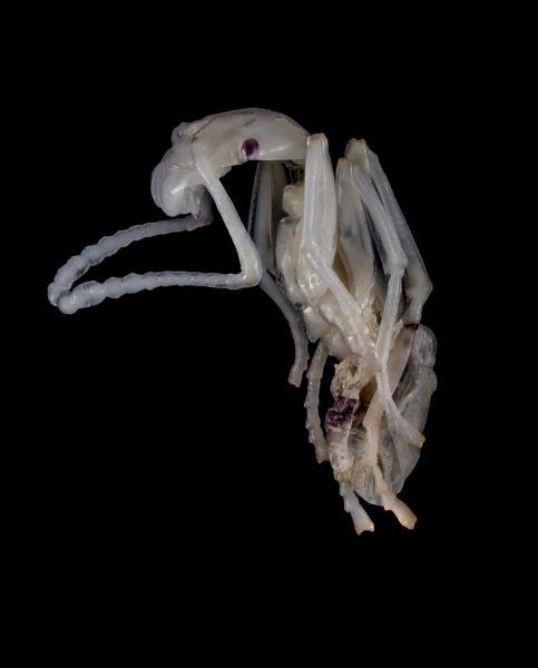 Aphaenogaster-senilis-larvae-portugal