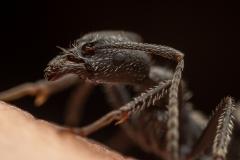 Aphaenogaster-senilis-Italy-14