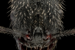 Aphaenogaster-senilis-Italy-22