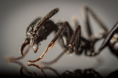 Aphaenogaster-senilis-Italy-4
