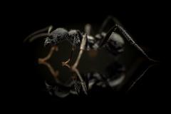 Aphaenogaster-senilis-Italy
