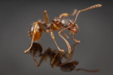 1_Aphaenogaster-subterranea-Germany-2