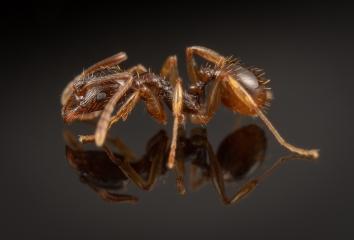 1_Aphaenogaster-subterranea-Germany-3