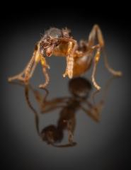 1_Aphaenogaster-subterranea-Germany