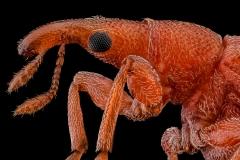 weevil-Apion-frumentarium-2