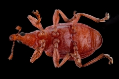 weevil-Apion-frumentarium-4