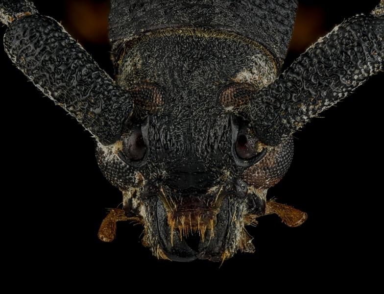 Arrhythmus-rugosipennis-Madagascar-3