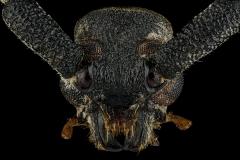 Arrhythmus-rugosipennis-Madagascar-2