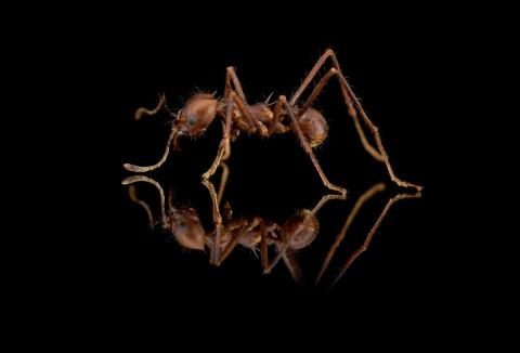 Atta-cephalotes-1