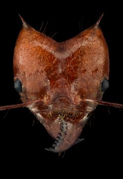 leaf-cutter ant - [Atta cephalotes] - Bolivia2