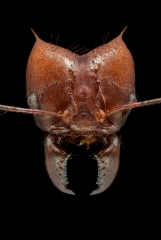 leaf-cutter ant - [Atta cephalotes] - Bolivia3