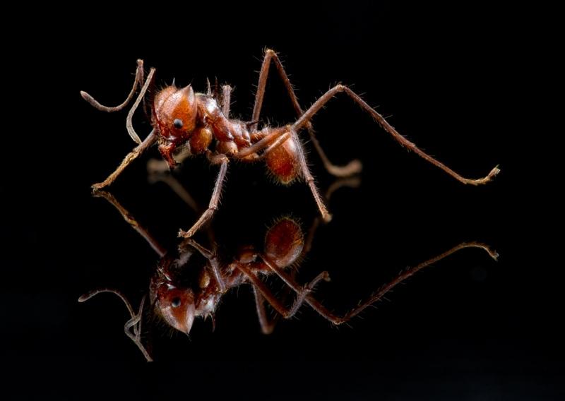 leaf-cutter ant - [Atta cephalotes] - Bolivia4