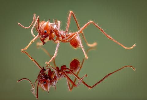 leaf-cutter ant - [Atta cephalotes] - Bolivia5