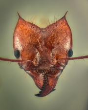 leaf-cutter ant - [Atta cephalotes] - Bolivia7