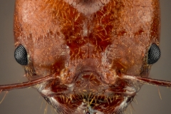 leaf-cutter ant - [Atta cephalotes] - Bolivia6
