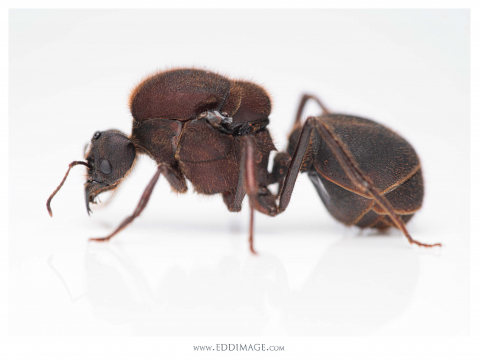 Atta-texana-Buckley-1860-queen-4