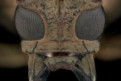Batocera-rufomaculata-Madagascar-2