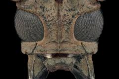 Batocera-rufomaculata-Madagascar