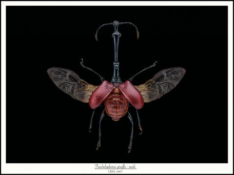 Trachelophorus-giraffa-male-verJekel-1860