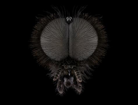 St.Marks-fly-Bibio-marci-UK-male