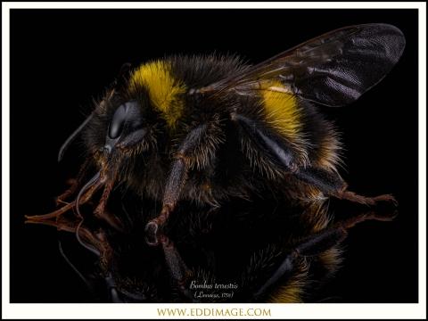 1_Bombus-terrestris-Linnaeus-1758-worker-UK