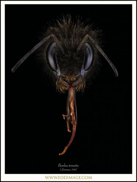 Bombus-terrestris-Linnaeus-1758-Worker-UK