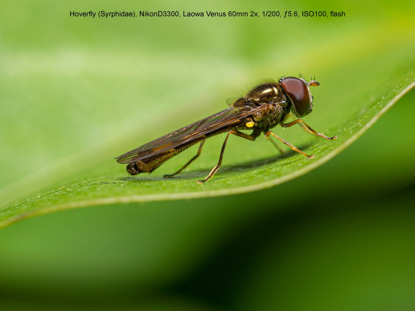 Hoverfly-Syrphidae