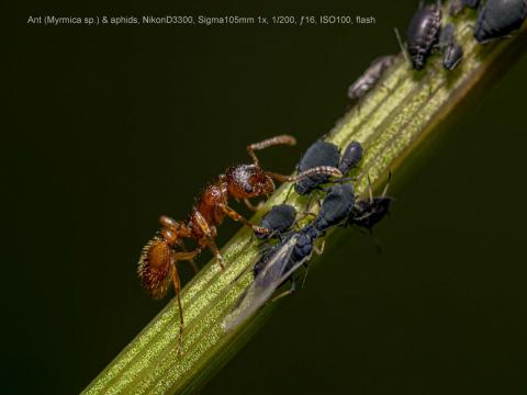 Ant-Myrmica-sp.-aphids
