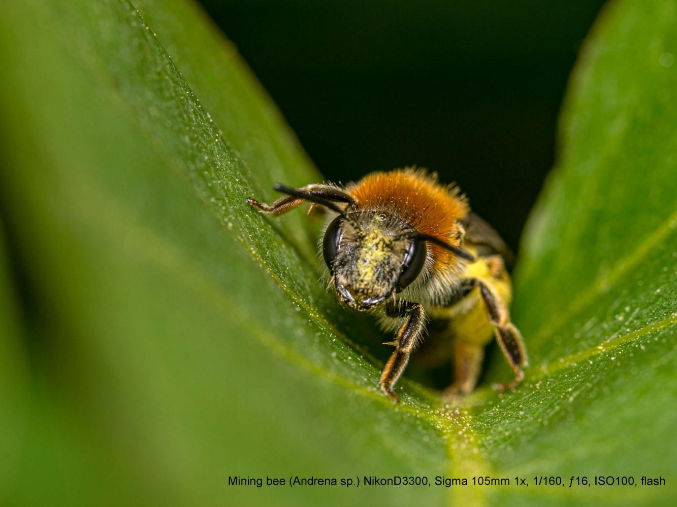 mining-bee-Andrena-sp.