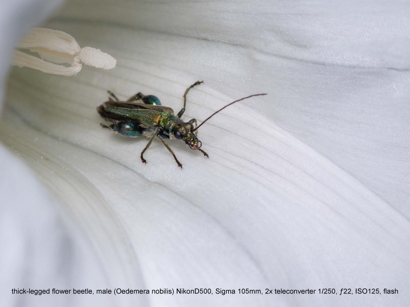 thick-legged-flower-beetle