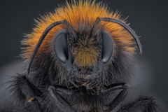 bumble bee-4