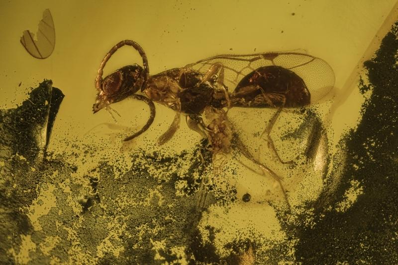 Burmese-amber-wasp-90-105-million-years-old