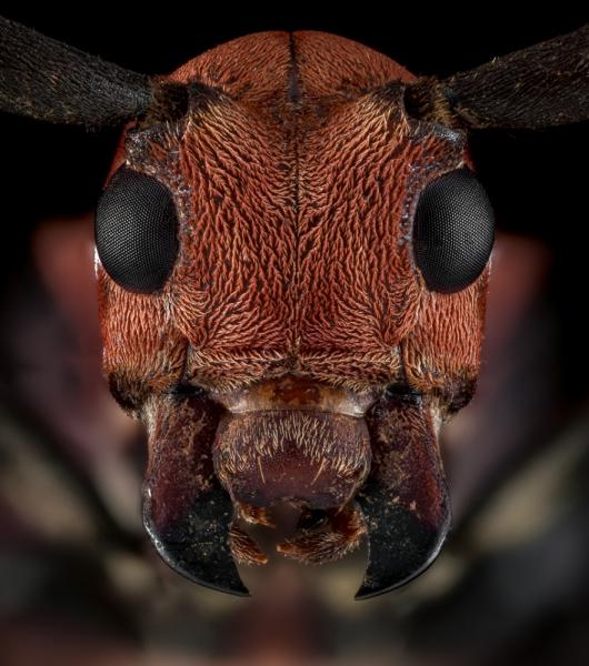 Callimation-venustum-Madagascar-3