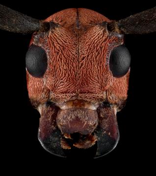 Callimation-venustum-Madagascar-4