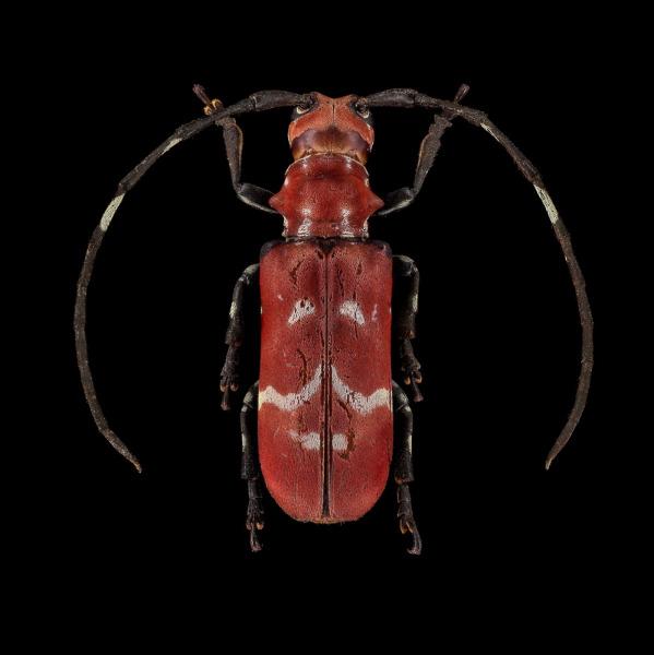 Callimation-venustum-Madagascar