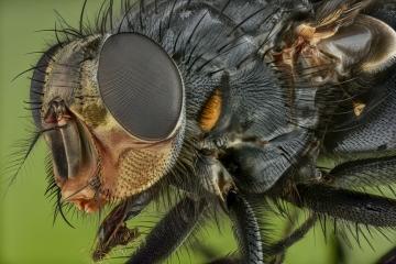 blue bottle fly - [Calliphora vicina]- UK