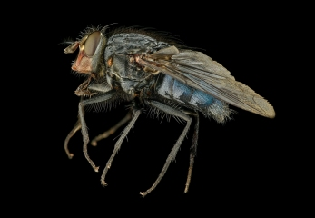 blue-bottle-fly-Calliphora-vicina-UK