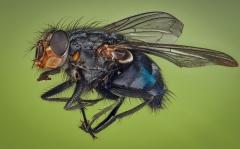 blue bottle fly - [Calliphora vicina]