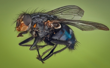 blue bottle fly - [Calliphora vicina] - UK