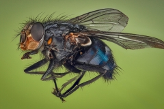 blue bottle fly - [Calliphora vicina]