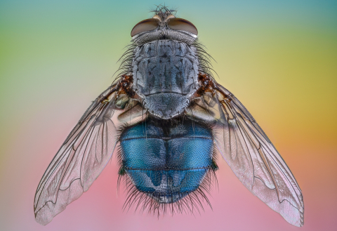 blue bottle fly [Calliphora vomitoria] - UK