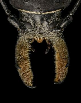 Callipogon-barbatus-Mexico-2