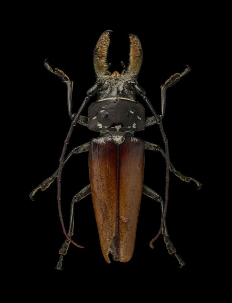 Callipogon-barbatus-Mexico