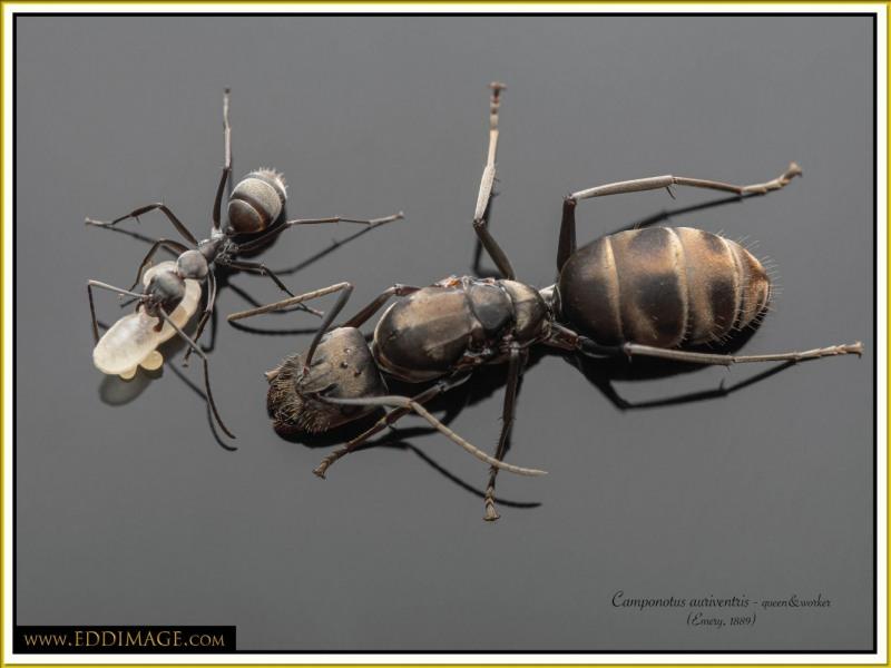 Camponotus-auriventris-2Emery-1889