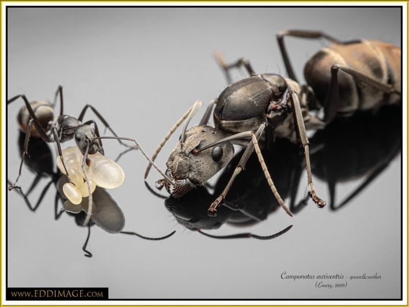 Camponotus-auriventris-3Emery-1889